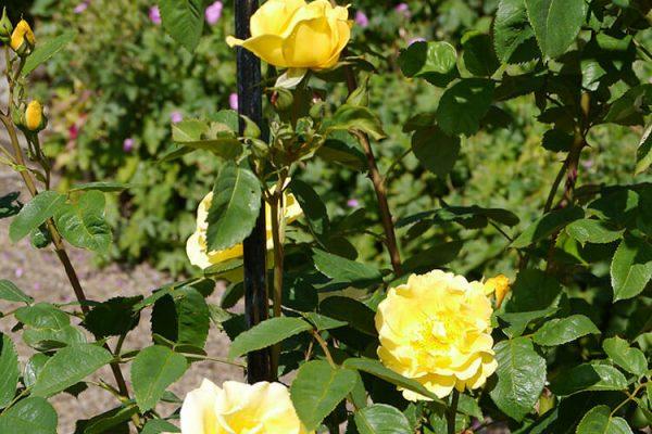 Garden-Rooms_Rose-Garden_6
