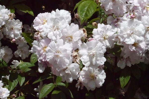 Garden-Rooms_Rose-Garden_Flowers