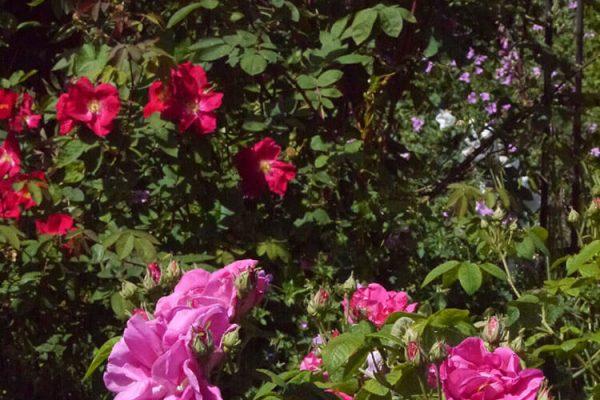 Garden-Rooms_Rose-Garden_Flowers5