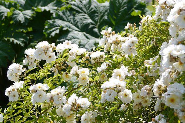 Garden-Rooms_Rose-Garden_Flowers9